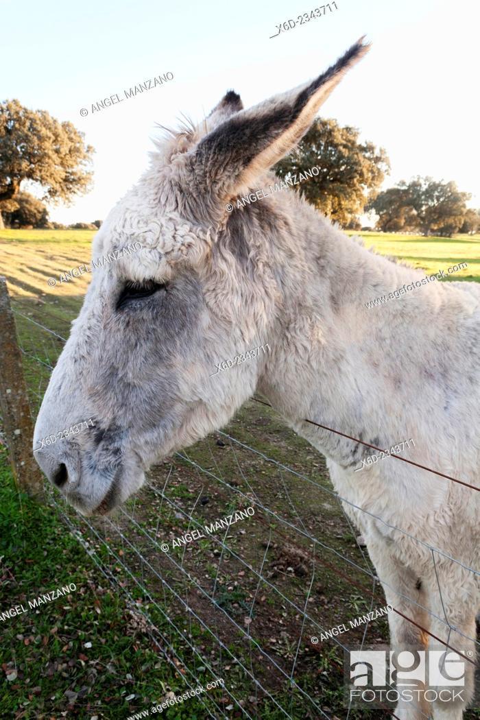 Stock Photo: Donkey, La Vera region.