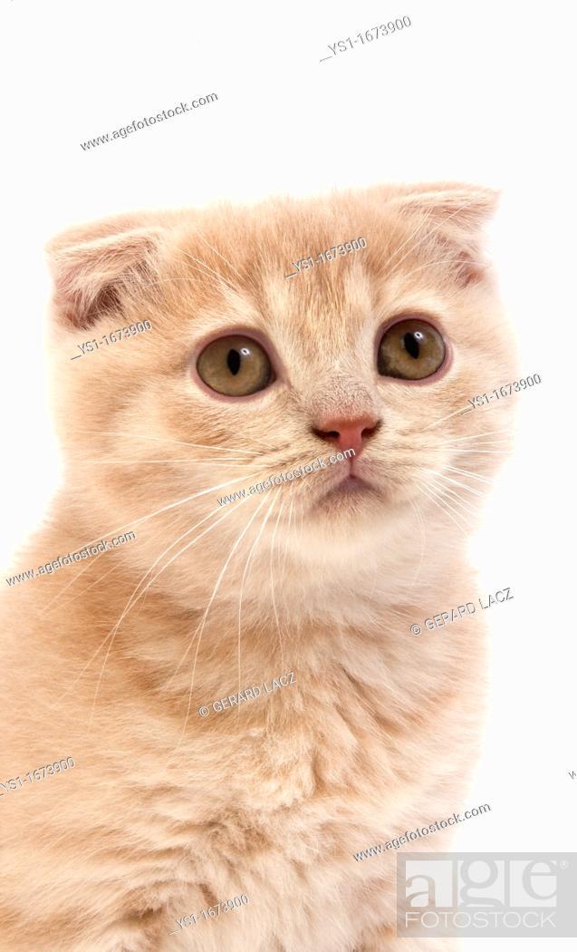 Stock Photo: Cream Scottish Fold Domestic Cat, Portrait of 2 Months old Kitten standing against White Background.