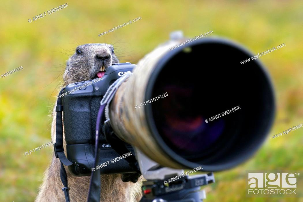 Stock Photo: Curious Alpine marmot (Marmota marmota) behind wildlife photographer's Canon camera with large telephoto lens mounted on tripod.