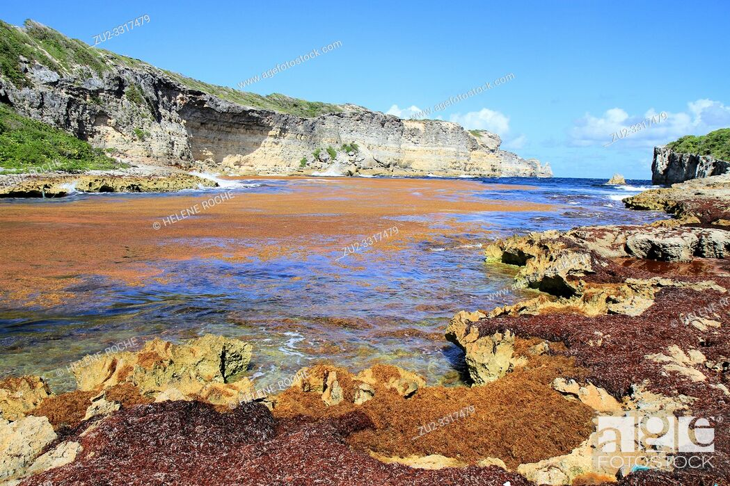 Stock Photo: Sargasso obstruct hell gate lagoon, Anse Bertrand, Guadeloupe, Caribbean islands, France.