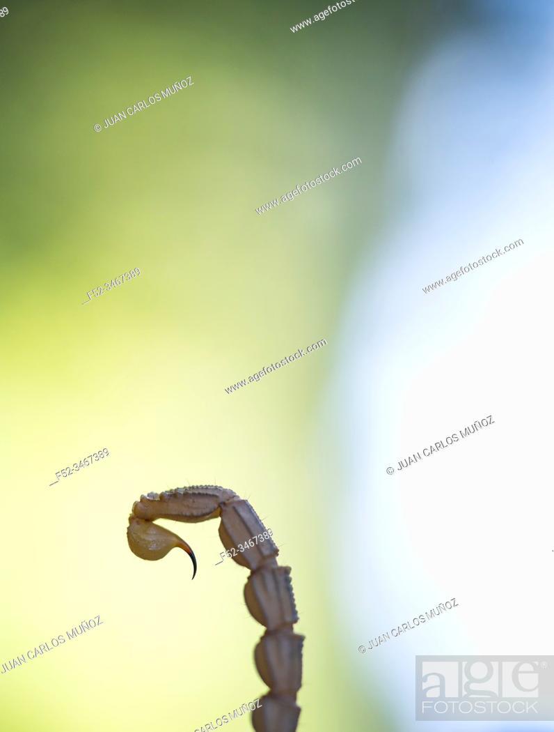 Stock Photo: Common Yellow Scorpion (Buthus occitanus). Sierra de San Pedro, Cáceres, Extremadura, Spain, Europe.