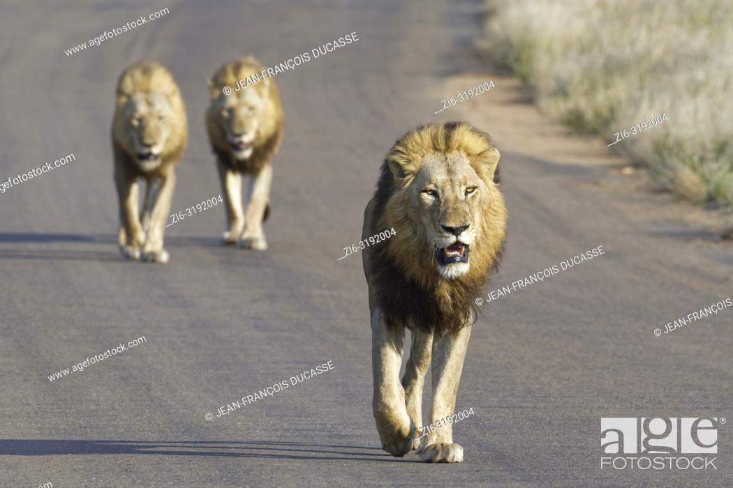 Imagen: African lions (Panthera leo), three adult males walking on a tarred road, Kruger National Park, South Africa, Africa.