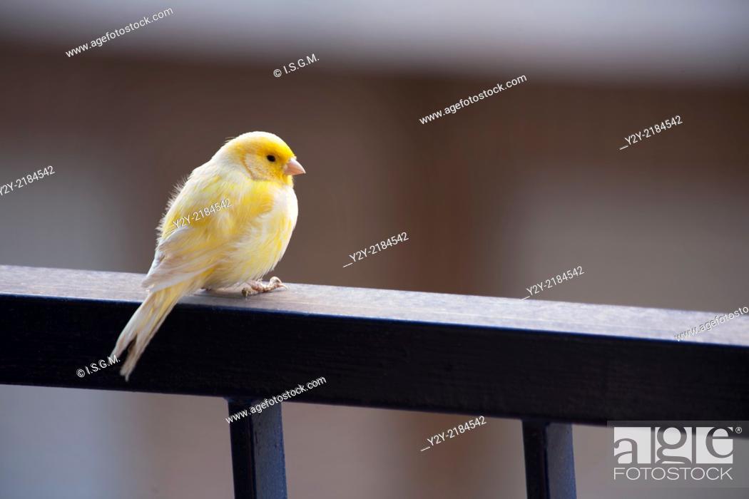 Stock Photo: Canary in a balcony.