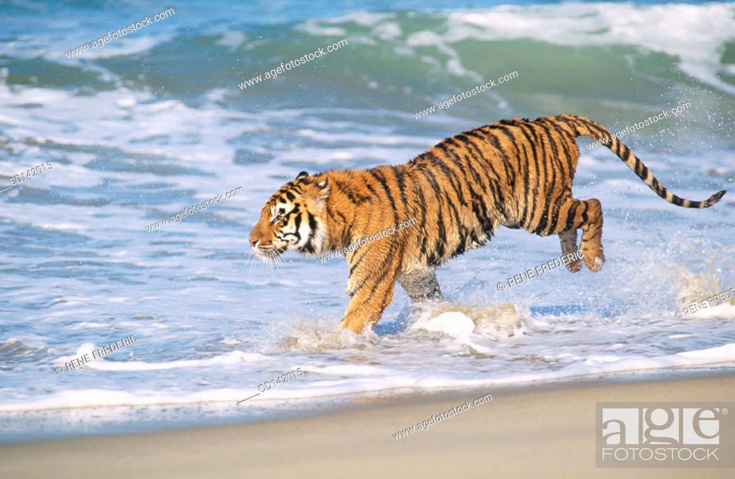 Stock Photo: Bengal Tiger (Panthera tigris tigris).