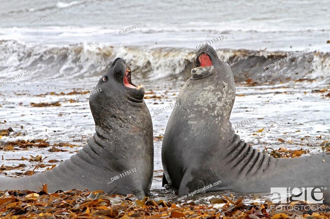 Stock Photo: Southern Elephant Seal (Mirounga leonina). Sealion Island, Falkland Islands.