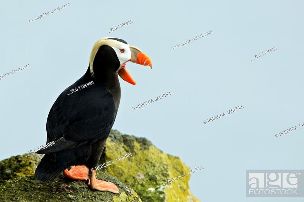 Stock Photo: North America, USA, Alaska, St Paul Island  Tufted Puffin.