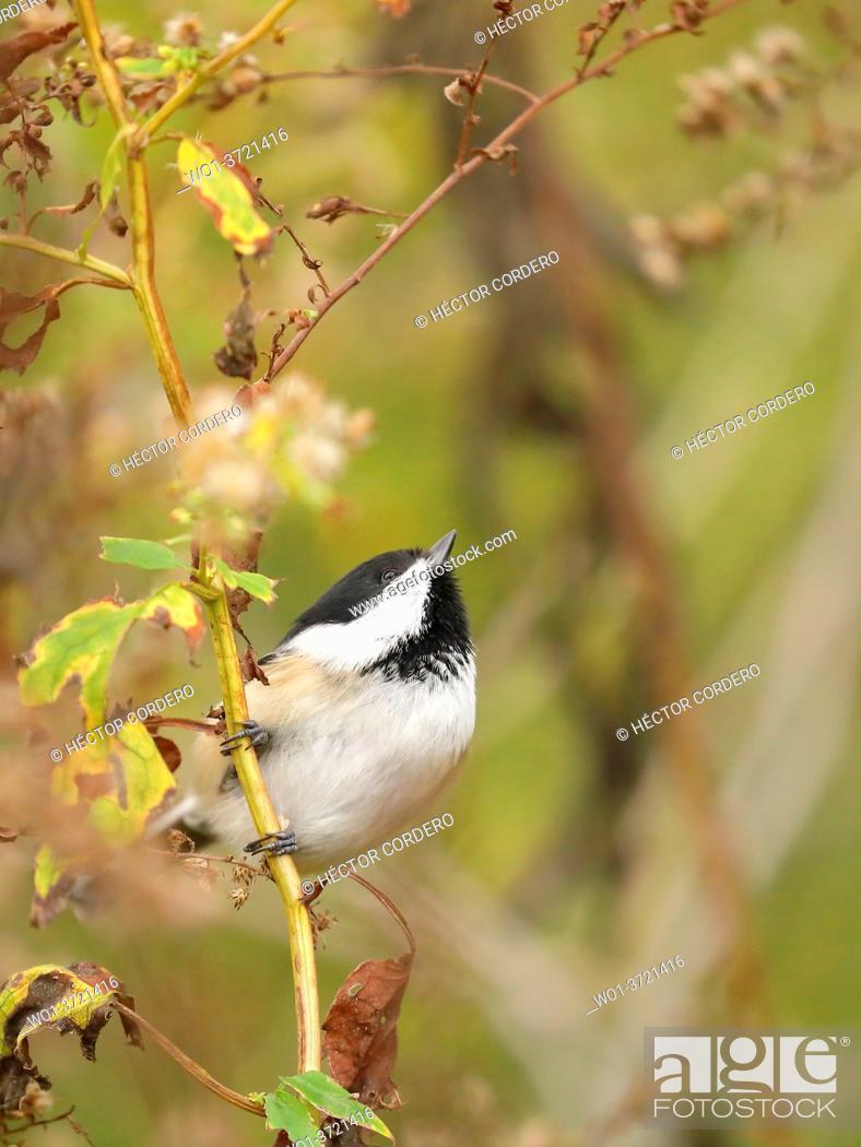 Stock Photo: Black-capped chickadee (Poecile atricapillus).