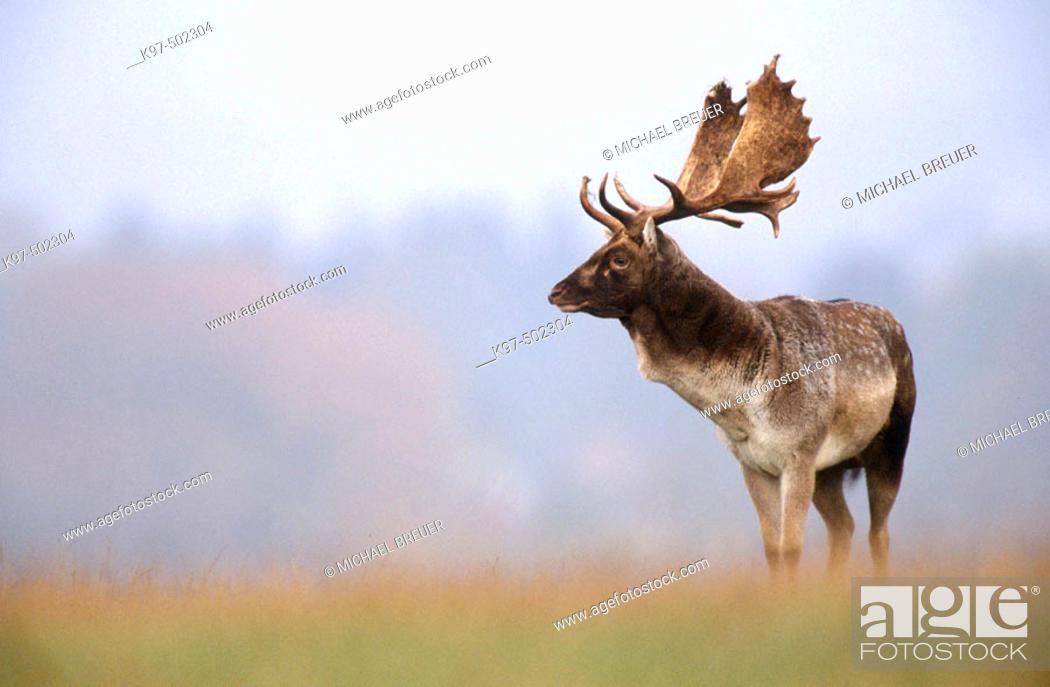 Stock Photo: Fallow Deer (Cervus dama). Denmark.