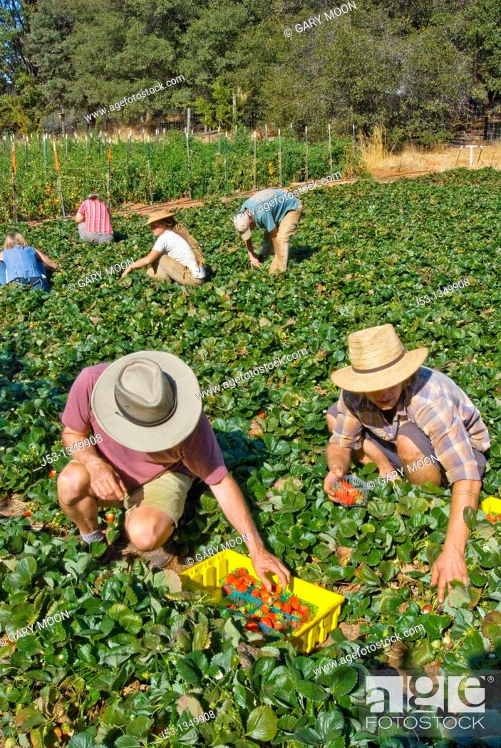 Stock Photo: Picking strawberries on small organic farm, Nevada City, California.