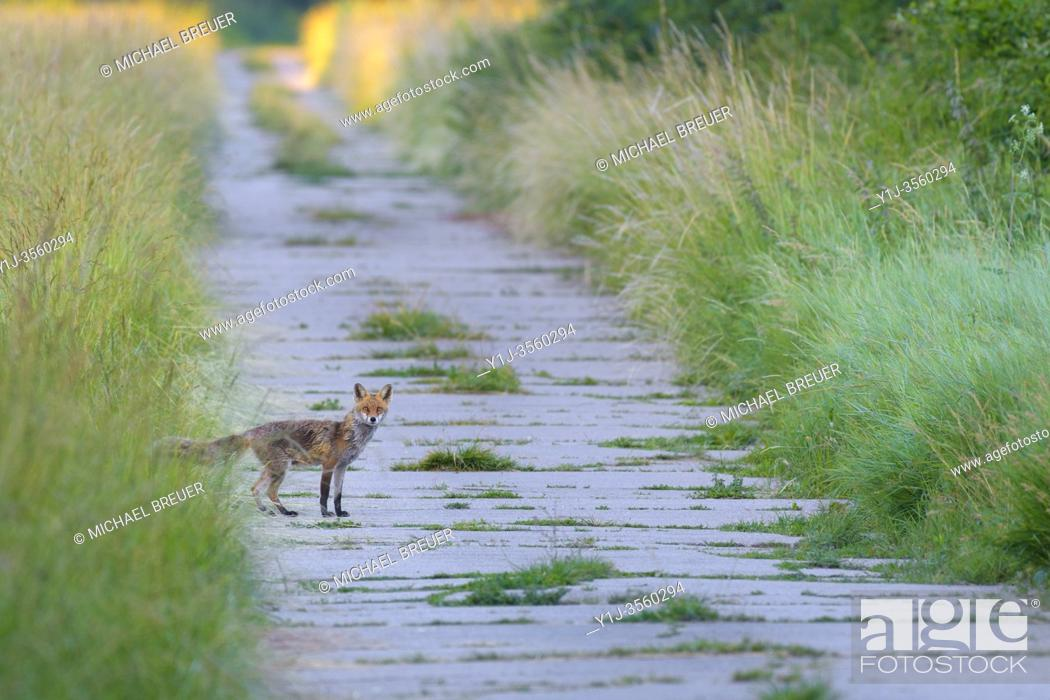 Stock Photo: Red fox (Vulpes vulpes) on path, Summer, Hesse, Germany, Europe.