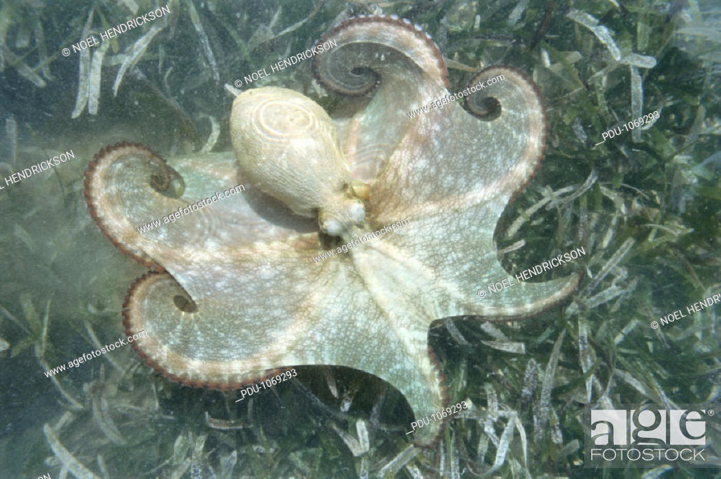 Stock Photo: Caribbean octopus in shallows, overhead view.
