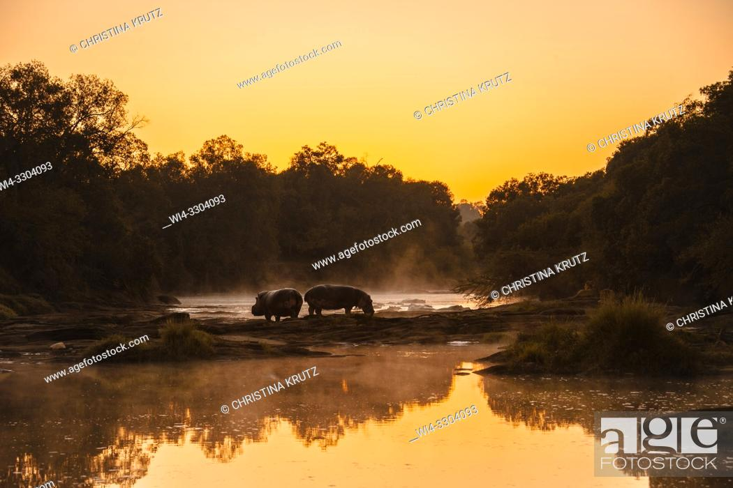 Stock Photo: Two Hippos (Hippopotamus amphibus) standing on the edge of the Olare Orok River, Maasai Mara National Reserve, Kenya, Africa.