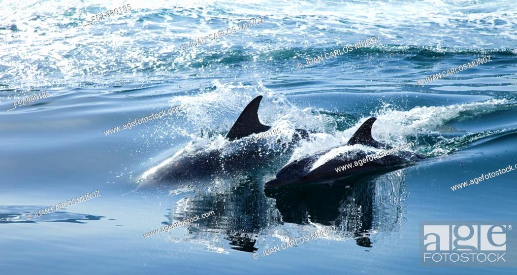 Stock Photo: Bottlenose Dolphin .Tursiops truncatus. Oman. Persian Gulf. Arabia. Middle East.