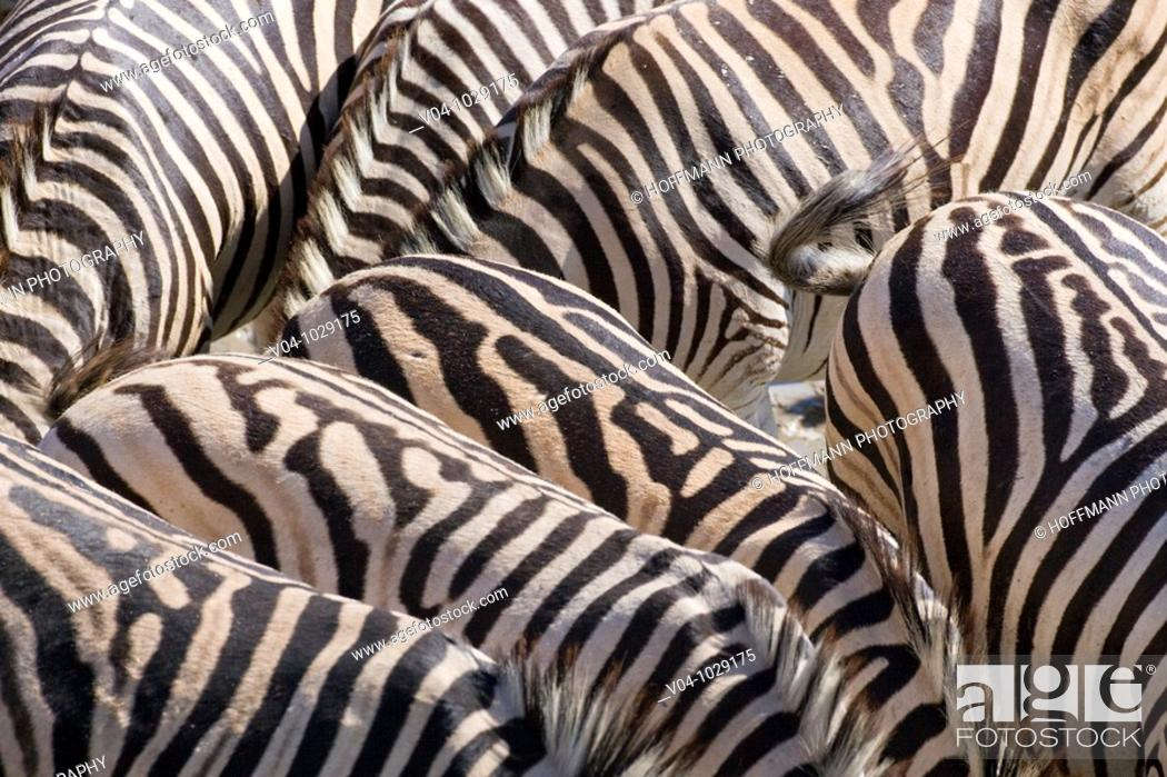 Stock Photo: A herd of Burchell's zebras (Equus burchelli) in the dry river bed of the boteti river, Botswana.