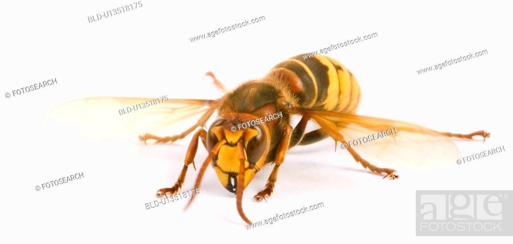 Stock Photo: freigestellt, alfred, animal, animals, bee, bees.