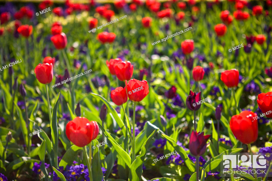 A Bed Of Red Tulips And Purple Flowers Stock Photo Picture And