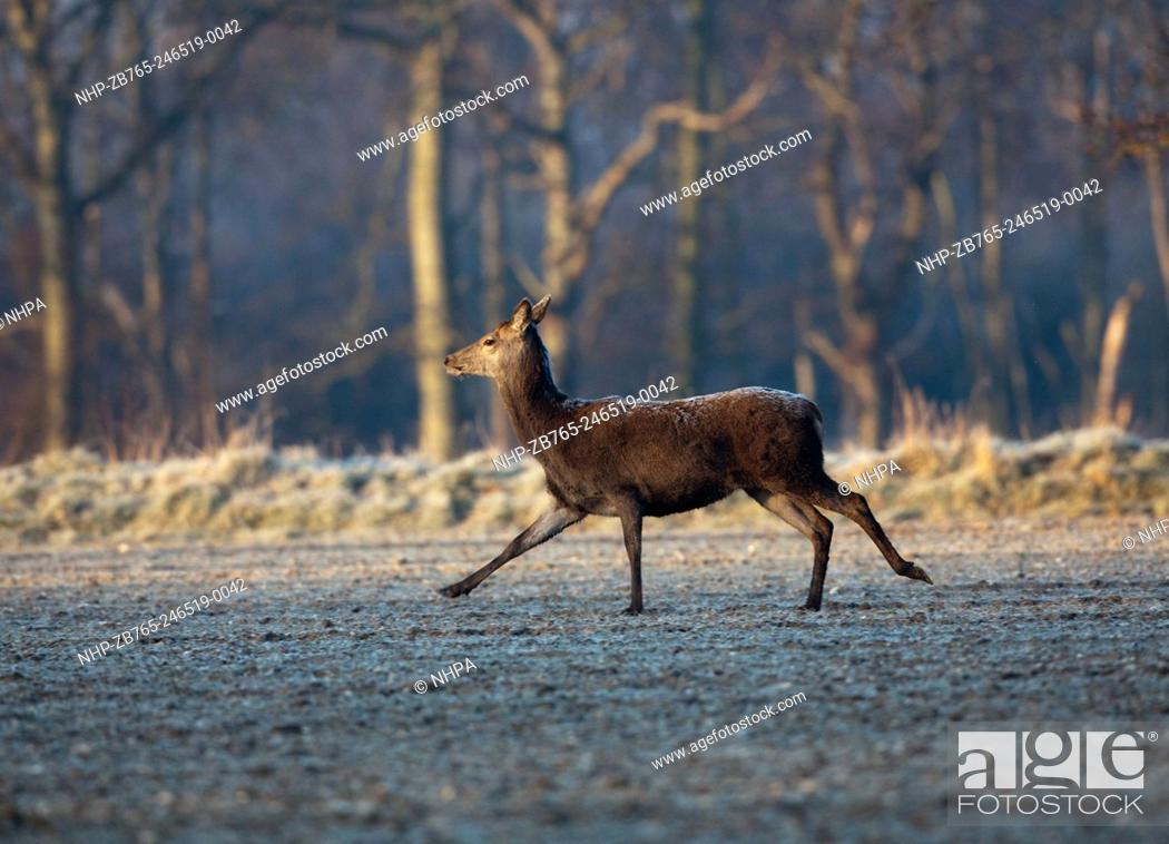 Stock Photo: Red Deer (Cervus elaphus). Hind. Sprightly trot across open ground of a frozen arable field in the extreme cold of a hard winter.