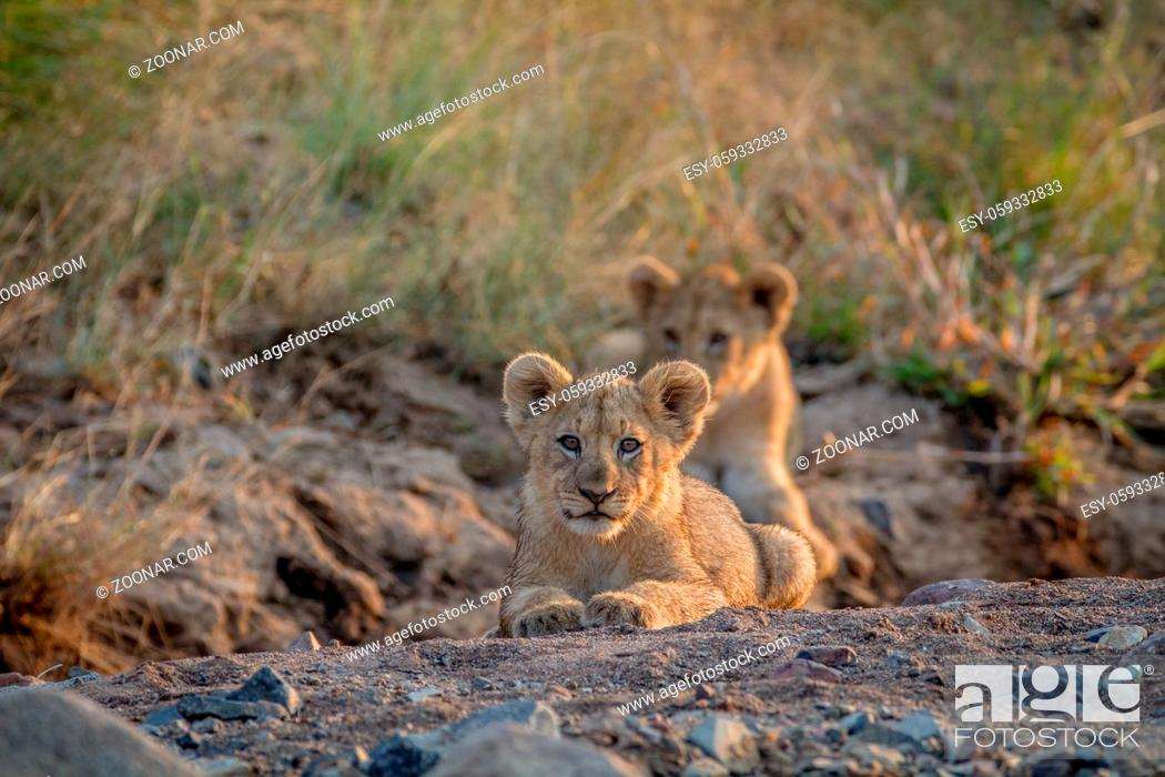 Stock Photo: Two Lion cubs laying in a dry riverbed in the Pilanesberg National Park, South Africa.