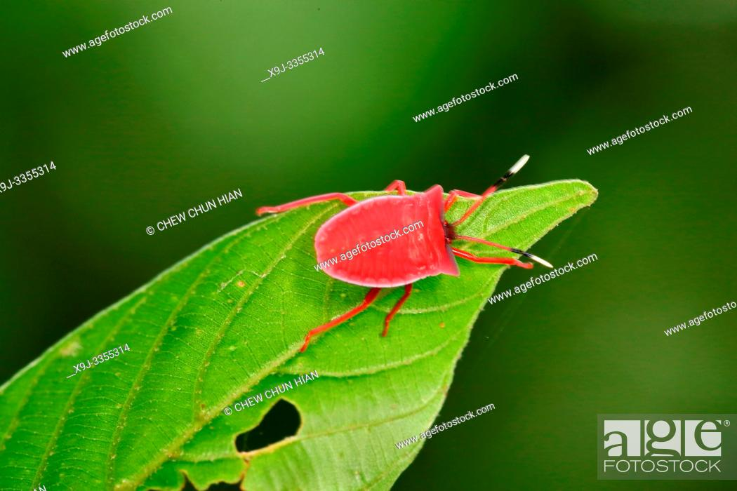 Stock Photo: Red Shield bug nymphs on a host plant, bo.