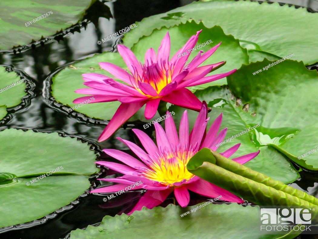 Stock Photo: Pink and yellow waterlily flowers (Nymphaea) amongst green lily pads at Kew Gardens.