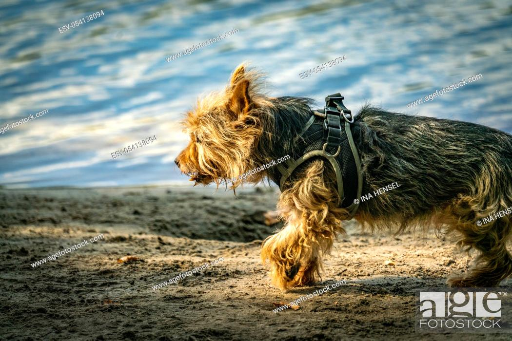 Stock Photo: Cairn terrier cross breed for a walk on a beach near a lake on a sunny autumn day.