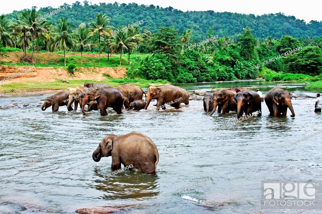 Stock Photo: elephants take a bath in the river in the wilder.