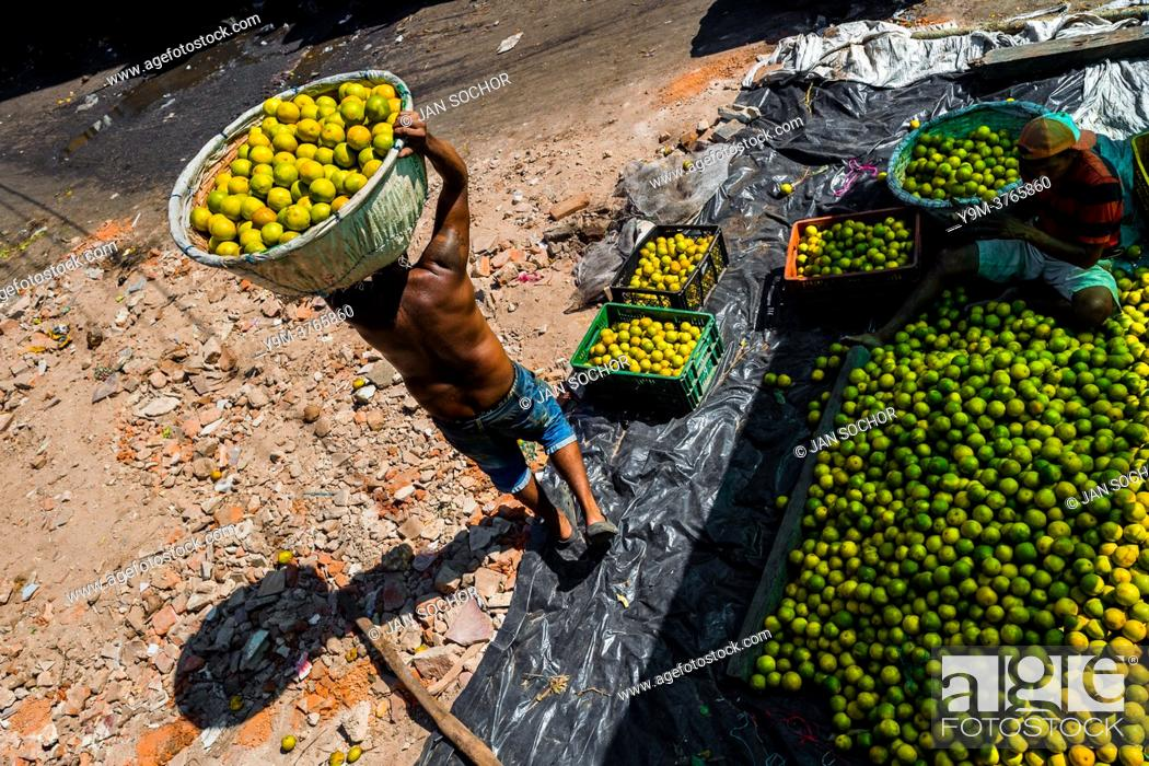 Stock Photo: A Colombian worker carries a basket loaded with green oranges (for juicing) in an open-air fruit market in Barranquilla, Colombia.