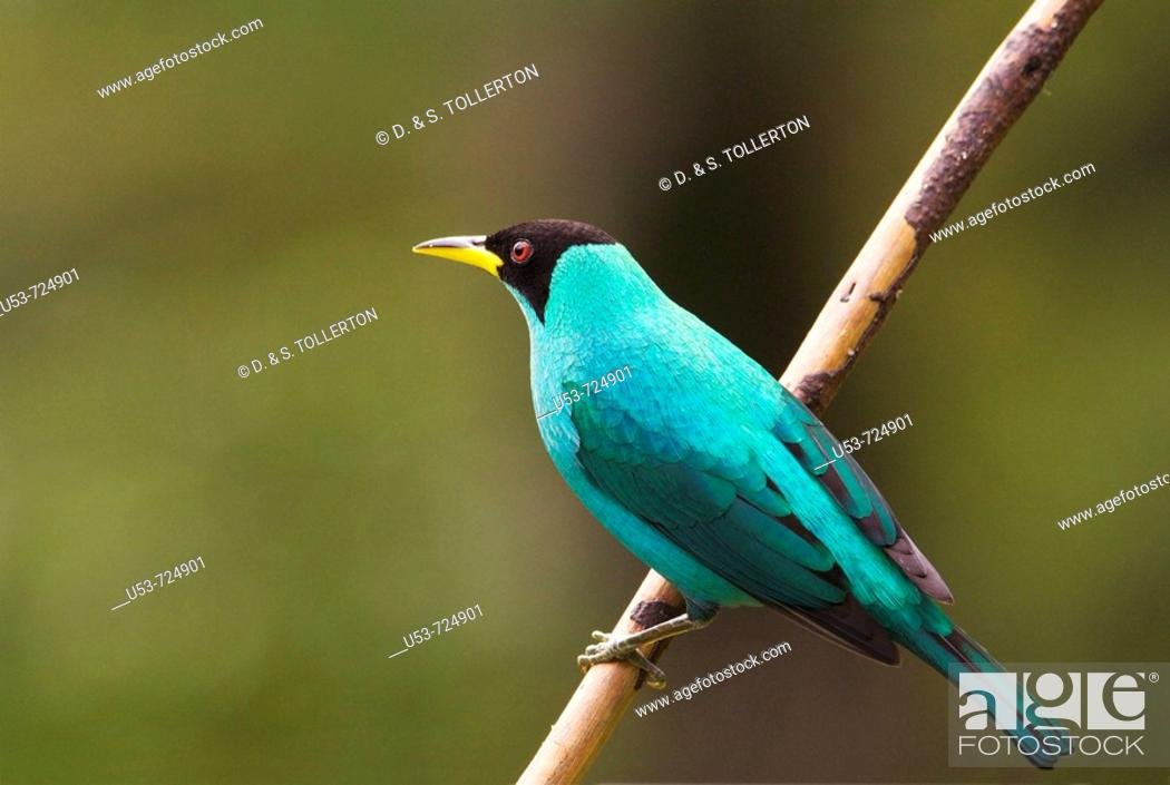 Stock Photo: Green Honeycreeper, Chlorophanes spiza, male.