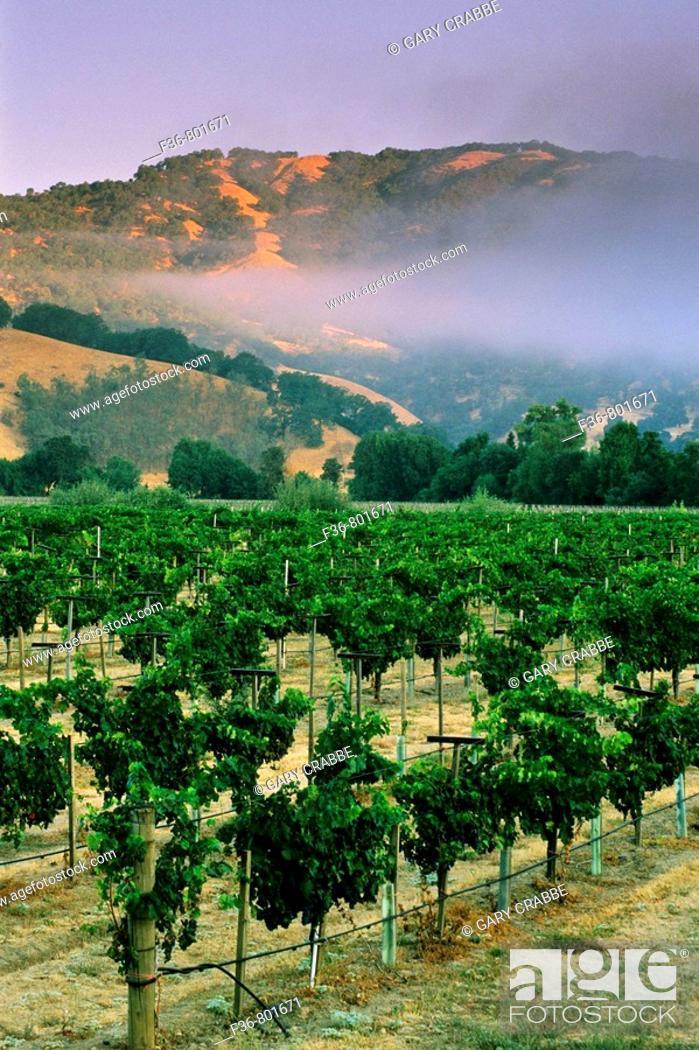 Stock Photo: Morning fog over vineyards at sunrise, near Hopland, Mendocino County, California.