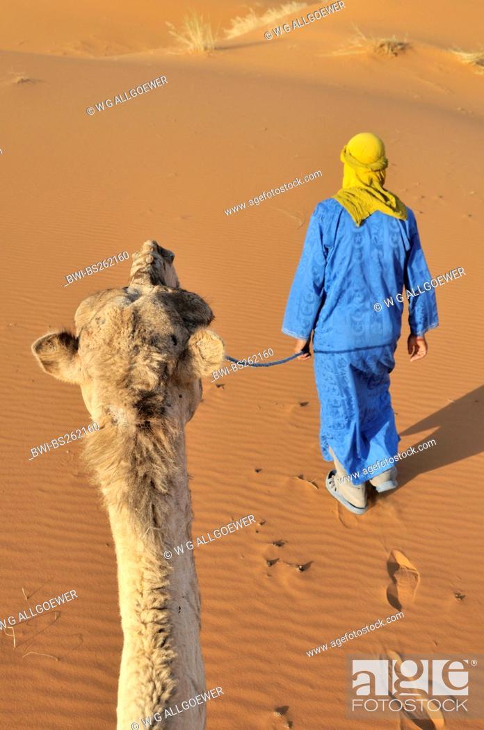 Stock Photo: dromedary, one-humped camel Camelus dromedarius, with camel guide in the desert, Morocco, Erg Chebbi.
