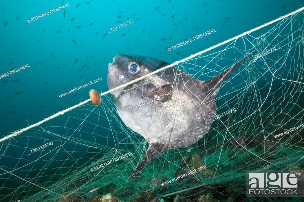 Stock Photo: Sunfish trapped in lost Fishing Net, Mola mola, Cap de Creus, Costa Brava, Spain.