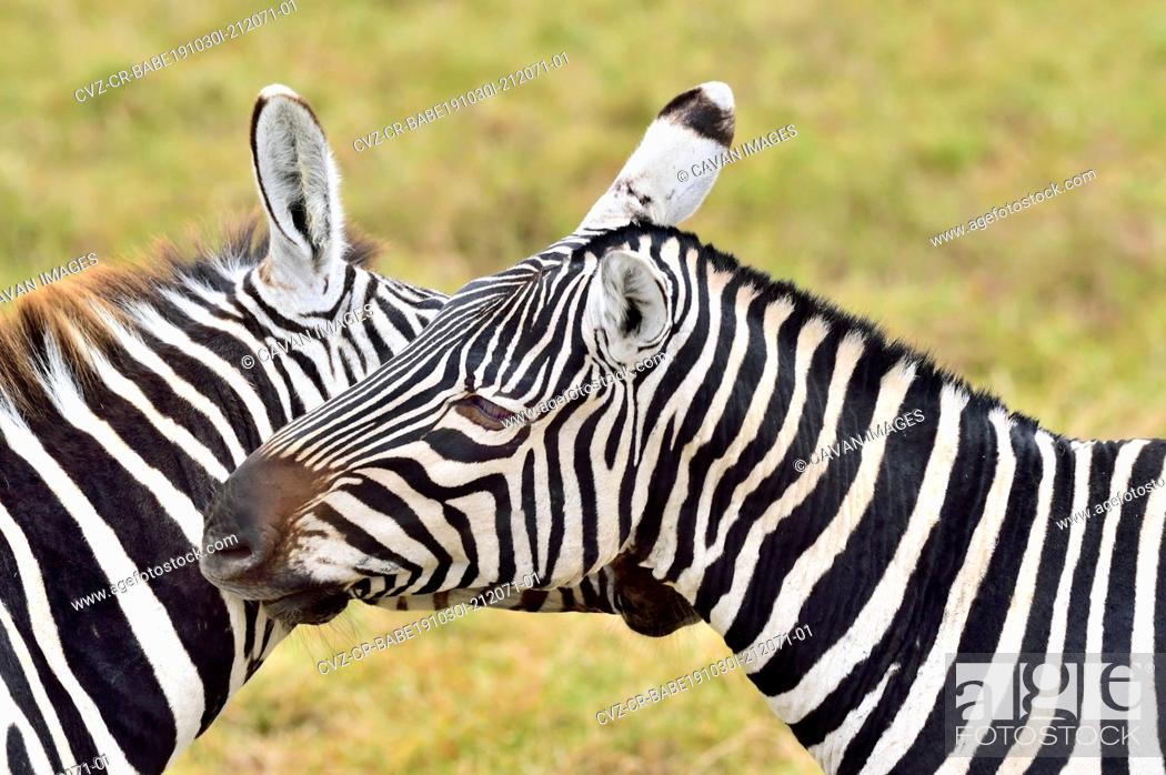 Stock Photo: Zebras scratching each other.