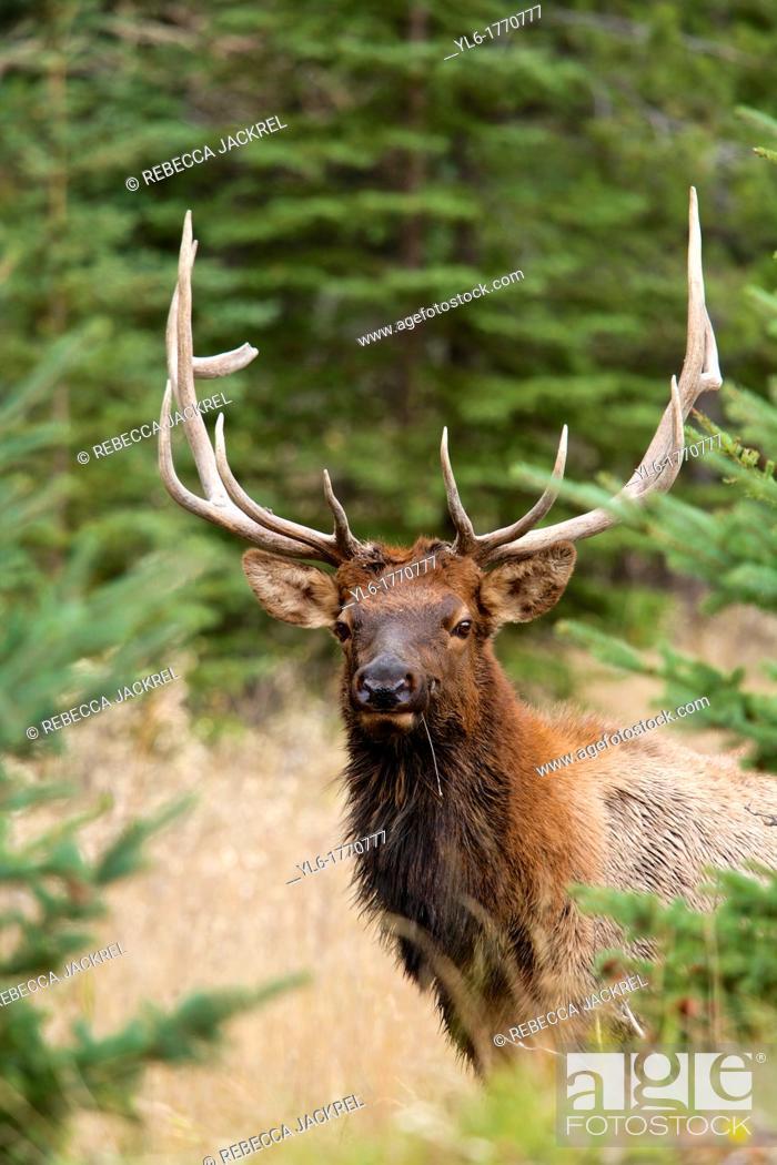 Stock Photo: A bull elk Cervus canadensis peers through the trees in Jasper National Park, Alberta, Canada.