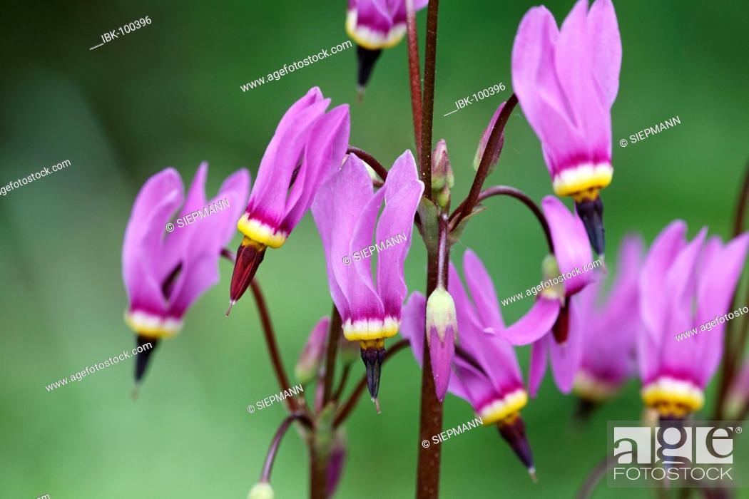 Stock Photo: Shooting star , American cowslip , Indian-chief , Rooster-heads , Johnny-jump , Pride of Ohio ( Dodecatheon meadia ) Germany.
