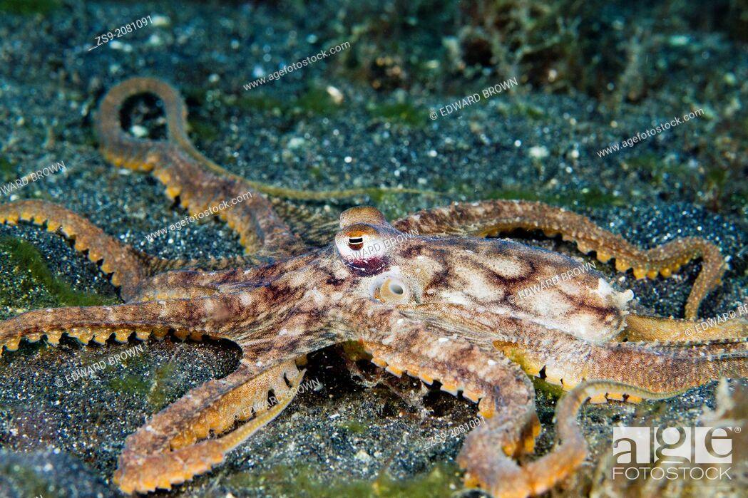 Stock Photo: Long arm octopus, Lembeh Strait, Indonesia.