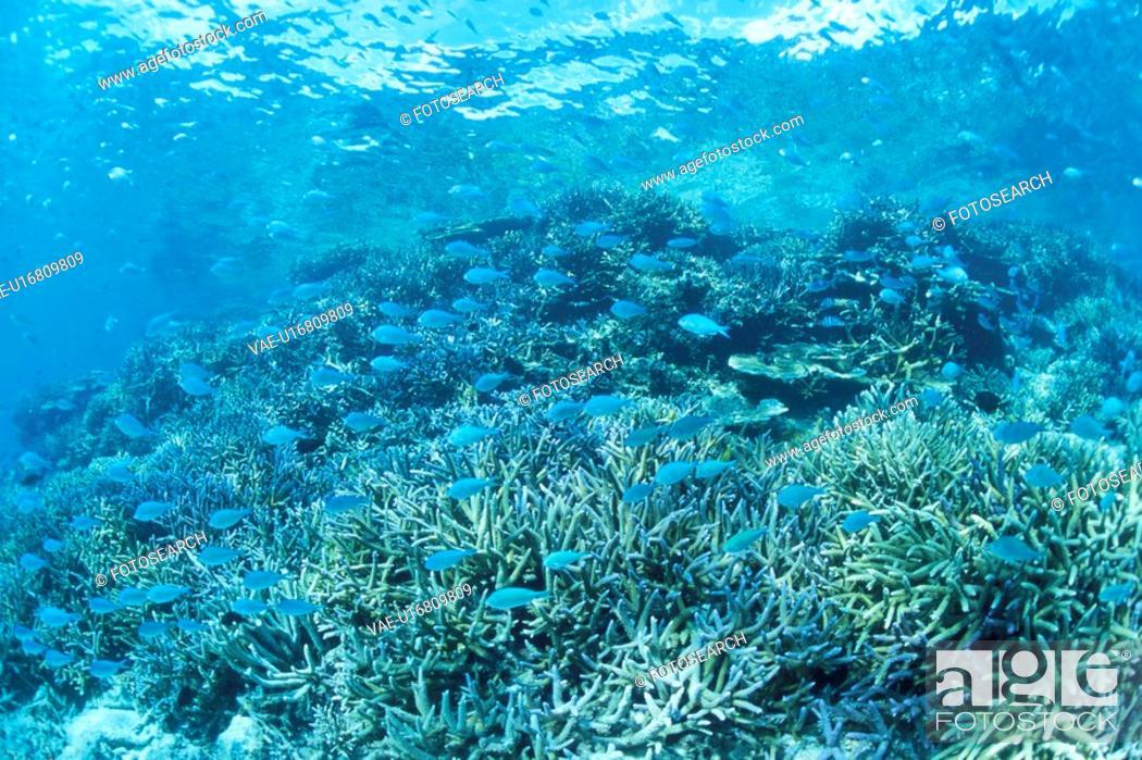 Stock Photo: Coral Reef And Whitesaddled Reeffish.