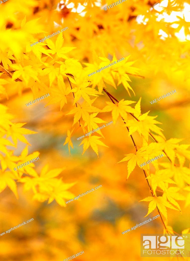 Stock Photo: leaves, season, tree, autumn, fall, maple, nature.
