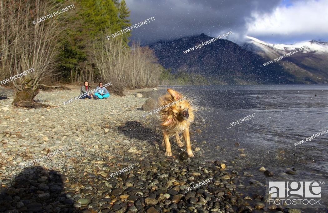 Imagen: San Carlos of Bariloche, Rio Negro, Argentina. August 24 2018: Golden Retriever shaking to dry after getting into the water, Gutierrez Lake, Bariloche.
