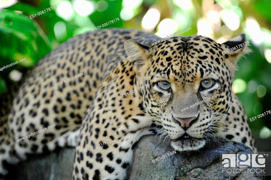 Stock Photo: A close up shot of an African Leopard.