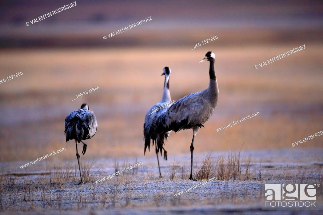 Stock Photo: Common Crane Grus grus in the wildlife reserve of Gallocanta. Aragon. Spain.