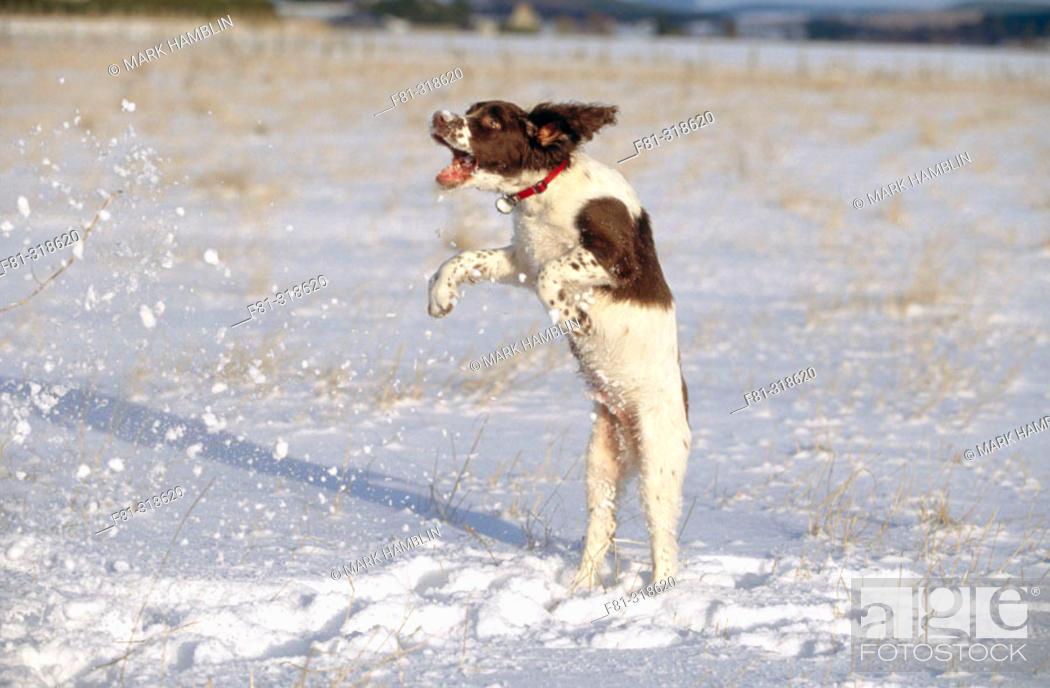 Springer Spaniel Puppy 4 Months Old