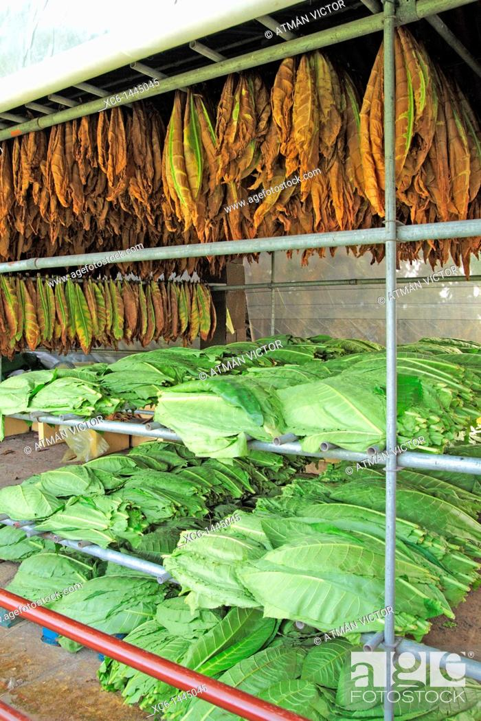 Stock Photo: Tobacco leaves drying shed.
