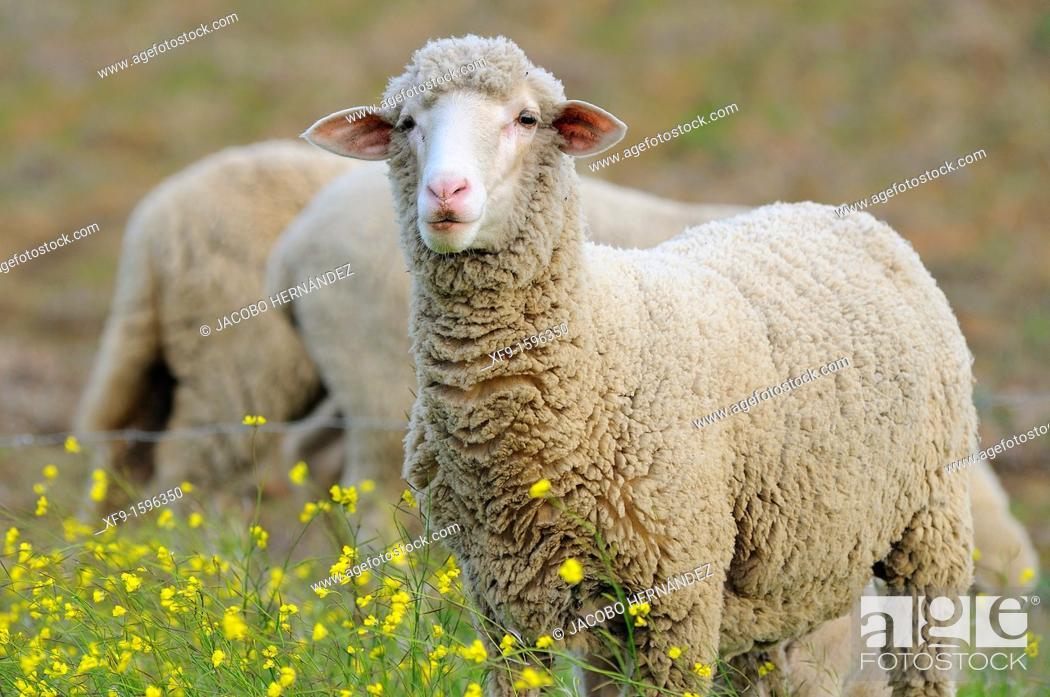 Stock Photo: Merino Sheep, Extremadura, Spain.