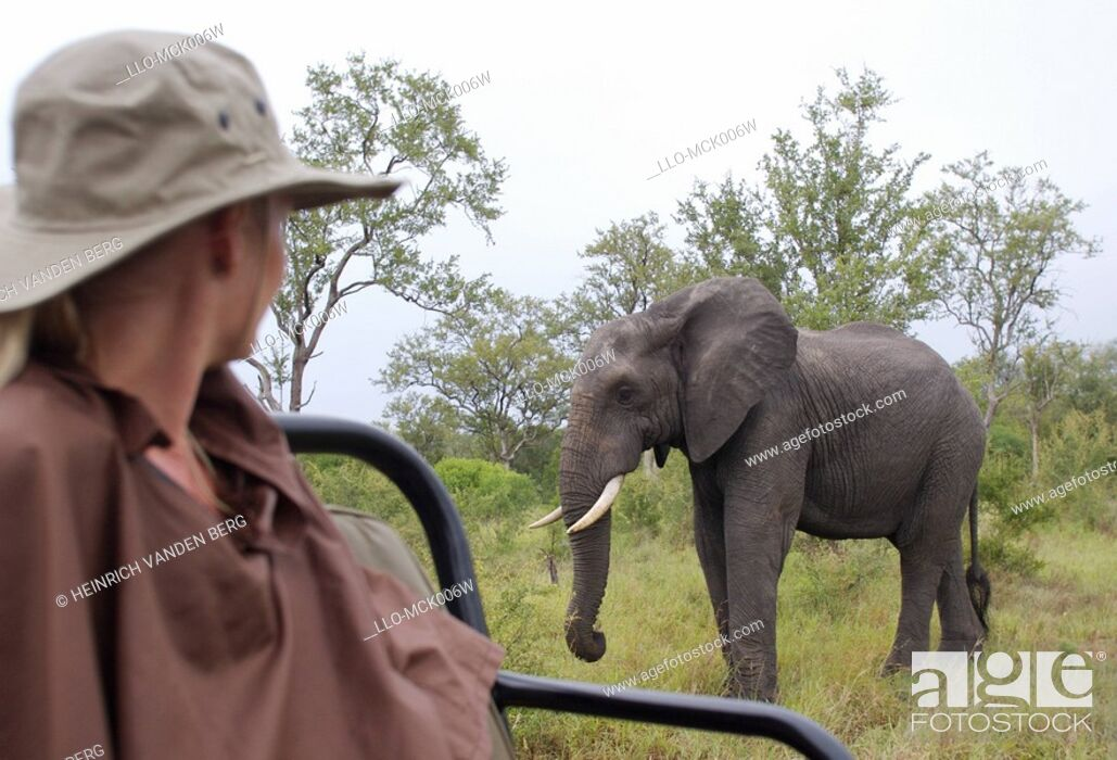 Stock Photo: Woman Watching an African Elephant Loxodonta africana from an Open Game Vehicle  Elephant Plains Game Lodge Sabi Sands, Mpumalanga Province, South Africa.
