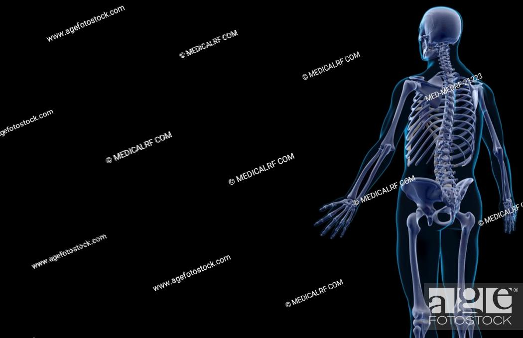 Stock Photo: The bones of the upper body.