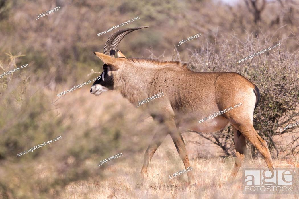 Stock Photo: Africa, Southern Africa, South African Republic, Kalahari Desert, Roan antelope (Hippotragus equinus), adult.