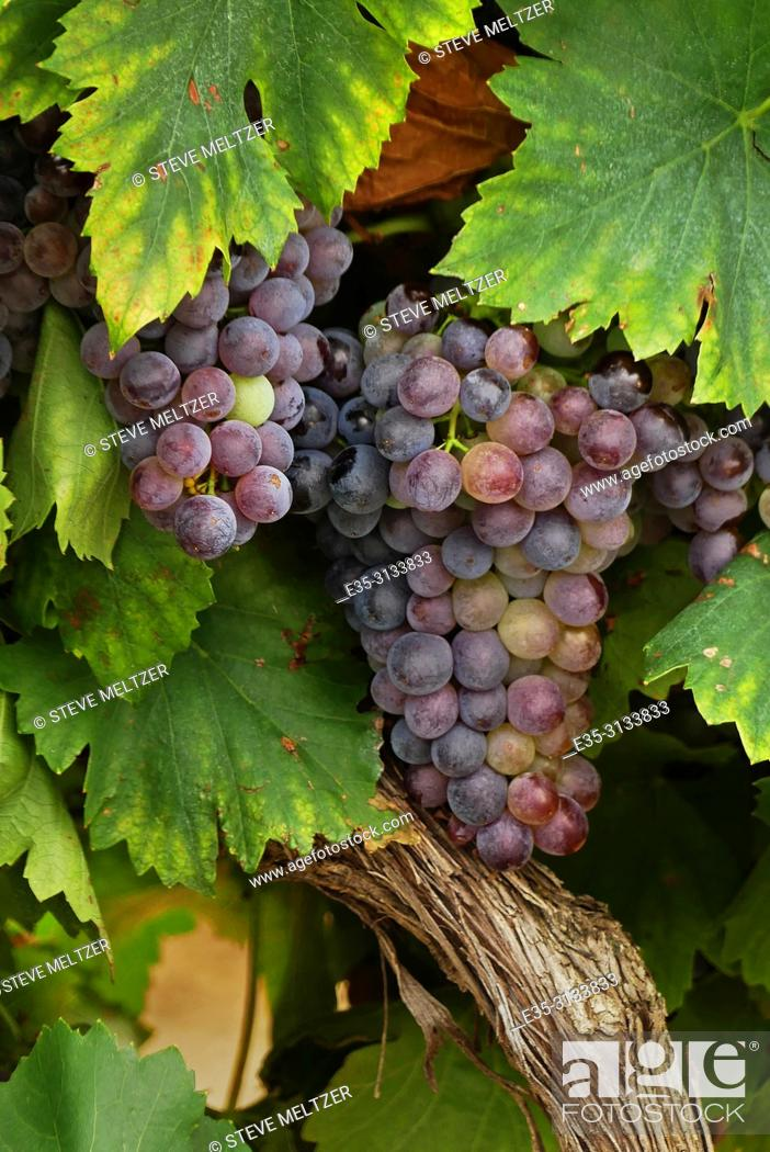 Stock Photo: A vineyard in Tourbes, France with grenache noir grapes ready to harvest.