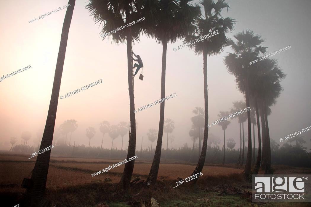 Stock Photo: Palm tree farmers work early in the morning to get the salvia to after that boil the liquid to transform in a kind of beer or in some cases in sugar at Ka Myaw.