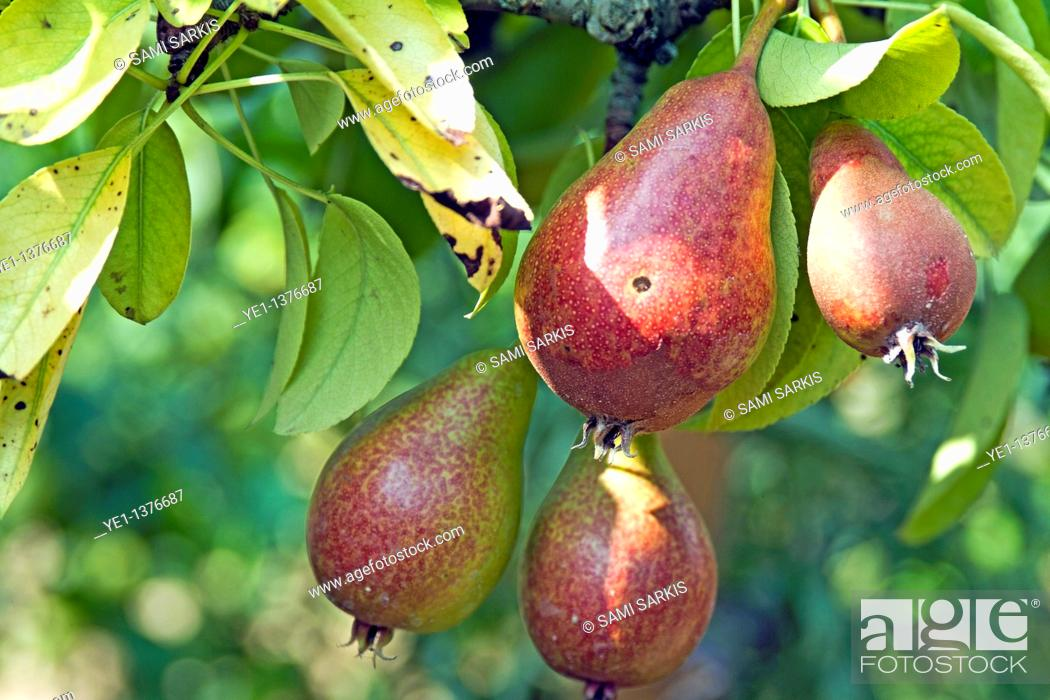 Stock Photo: Pears growing on a tree.