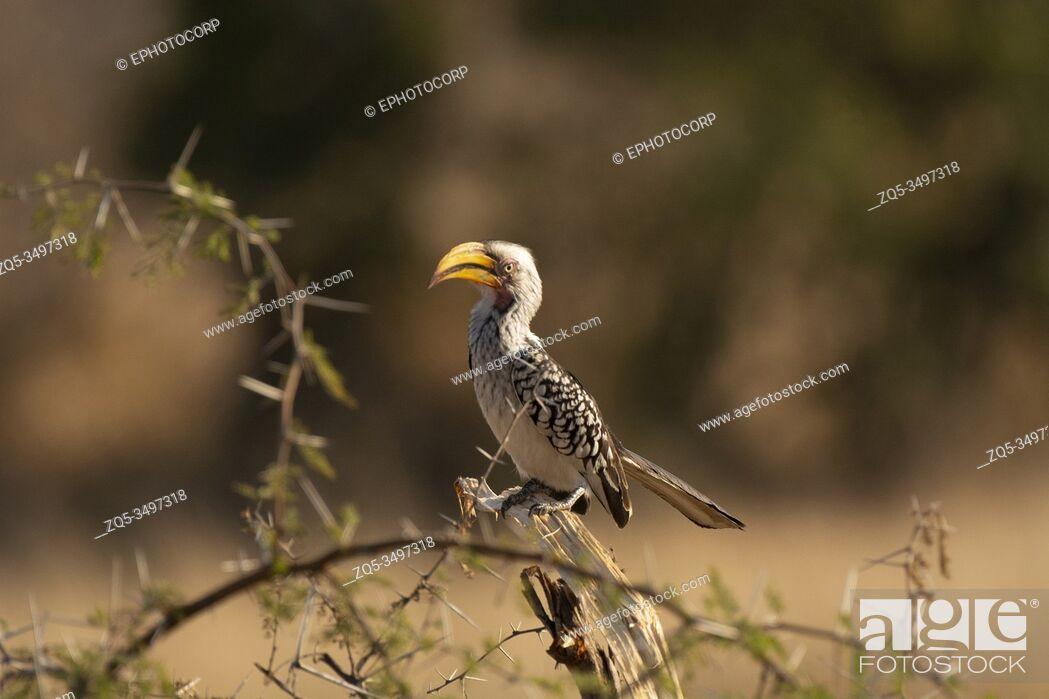 Photo de stock: Southern yellow billed hornbill, Tockus leucomelas, Kruger National Park, South Africa.